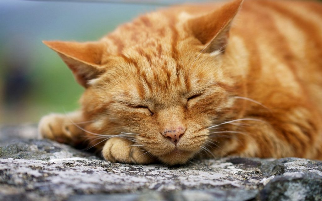 Ginger Cats